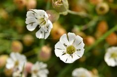 Flores do campo.