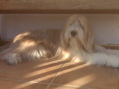 Bearded collie Gandalf