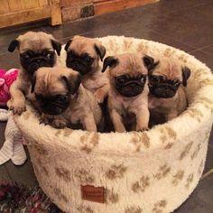 My beautiful Bubblebecca babies #follow @bubblebeccapugs & #bubblebeccahat to win my giveaway #pug #pugs #puppy #pugsofinstagram #instagood #instalove #dog #dogs #dogsofinstagram #love #animals #bubblebeccapugs
