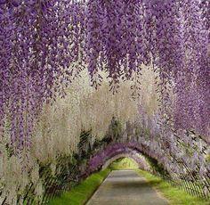 Kawachi Fuji Gardens, Japan.
