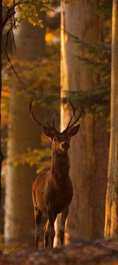 Edelhert / Red deer (by Beautiful Creatures, Animals Beautiful, Cute Animals, Majestic Animals, Photo Animaliere, Red Deer, All Nature, Tier Fotos, Mundo Animal