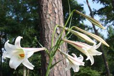 Alpine Formosa Lily for sale buy Lilium formosanum var. pricei 'Hehuan' x2