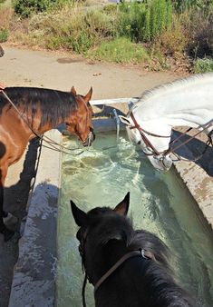Getting a drink from the water trough on the trail in Southern California | When It Gets Too Hot, We Trail Ride | post by Saddle Seeks Horse | Trail Riding, trail rider, English, western, pleasure | Bays and Greys