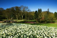RHS Garden Harlow Carr - Daffodil borders in Spring.