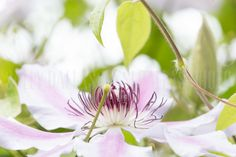 Clematis Heart.  sldallas photography