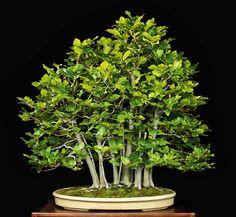 Creating a Beech Forest Bonsai