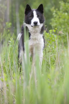 """Visit our site for even more info on """"Siberian husky dogs"""". It is actually an outstanding area for more information. Big Dogs, I Love Dogs, Dogs And Puppies, Laika Dog, Russian Dogs, Unusual Dog Breeds, Greenland Dog, Dangerous Dogs, Siberian Husky Dog"""