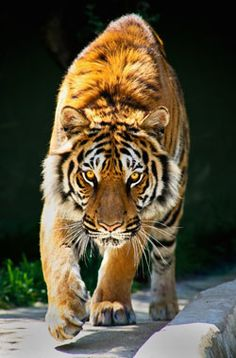Spirituality & Practice: Spiritual Practice: Walk Like a Tiger, by ...