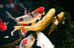 Group of Koi Fish by Dean  Triolo