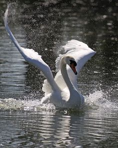 Wings up landing (Mute swan) Swan Love, Beautiful Swan, Beautiful Birds, Animals Beautiful, Cygnus Olor, Animals And Pets, Cute Animals, Photo Animaliere, Mute Swan