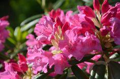 Haaga-rhodoa lähennellen | Vesan viherpiperryskuvat – puutarha kukkii
