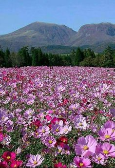 Field of cosmos   .....Cape