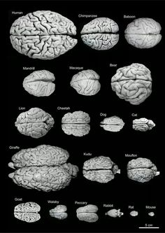 A comparative look at the brain sizes of different species. Although brain size does not equal intelligence.