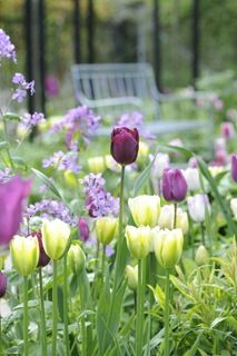 Nice colour combination- the dark purple tulips with viridifloras.