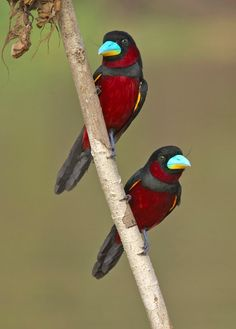 These breathtakingly beautiful birds are Black-and-Red Broadbills (Cymbirhynchus macrorhynchos). They have a black head, back, and tail feathers with crimson underparts. The bill is most striking, as it is a wonderful light turquoise on top with yellow underneath. Habitat: Southeastern Asia