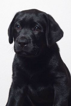 Awww...look at that face!! #labradorretriever