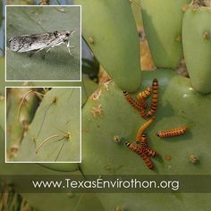 """""""The cactus moth (Cactoblastis cactorum) is an astonishingly destructive insect that poses a serious threat to Texas wildlife if it is allowed to invade…"""""""