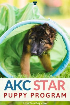 The AKC S.T.A.R. Puppy Program is designed to focus on everything that puppies and their owners need to give them both the best possible start on their journey together. The AKC believes that every dog deserves to be trained correctly and to have a responsible owner. Find out more here! #LoveYourDog #DogTraining #PuppyTraining #AKCPuppyTrainingProgram #TrainingANewPuppy R Dogs, Dog Behavior, Dog Training Tips, New Tricks, Programming, Dreaming Of You, How To Find Out, Love You, Journey