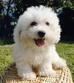 Bichon Poo. Probably the most perfect dog ever. Small, loving, dedicated to it's family, extremely smart, hypo-allergenic and perennially happy.