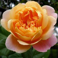 Impressionist climbing rose