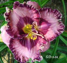 Daylily Seedling ('Written on the Wind' x 'Wonder of it All')