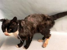 2/23/18 -S.URGENT - NEEDS MEDICAL CARE ! - FIV POSITIVE - Poor WELCH was brought into the ACC in poor shape. WELCH needs medical care and a loving home to rest in.  Client brought in thin stray cat, appears to be recently shaved; client reported that the cat had episode of vomiting while they had him; FIV positive