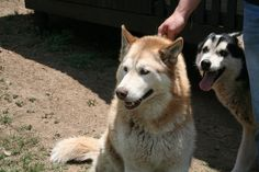 -386 _ Thumi. 6 Year old caramel & white female with 2 brown eyes. Stunning girl. Jasper@huskyrescue.co.za.