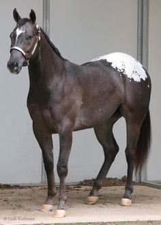 Snowcap Appaloosa horse