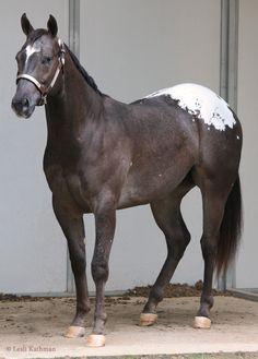 Snowcap Appaloosa horse. Beautiful blank hooves due to the homozygous Lp gene