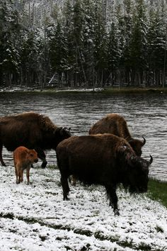 BISON IN YELLOWSTONE NATIONAL PARK, WYOMING, USA -- Travel where the wild things are and have fun!