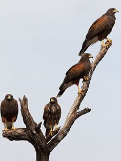 a cast of hawk | Harris Hawk Family
