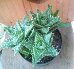 Zanzibar Aloe
