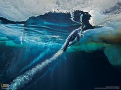 Emperor Penguins Swimming | ... from the sea to the sea ice, an emperor penguin reaches maximum speed