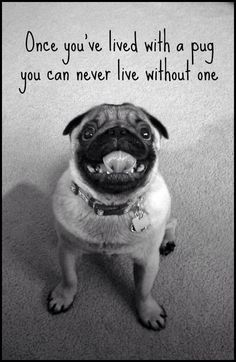 Once you've lived with a pug you can not live without one or two or.....