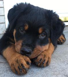 Everything Rottweiler 🐶 Super Cute Puppies, Cute Baby Dogs, Cute Dogs And Puppies, Doggies, Cute Little Animals, Baby Animals, Funny Animals, Rottweiler Breed, Rottweiler Training