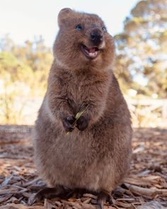 "The quokka's docile temperament, friendliness to humans and smiling face have earned it the nickname ""the world's happiest animal. Rare Animals, Happy Animals, Animals And Pets, Smiling Animals, Cute Little Animals, Cute Funny Animals, Quokka Animal, Happy Week End, Cute Animal Pictures"