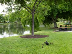 """Mamma duck and her babies walking to """"duck pond"""" at Lowdermilk Park Naples, Florida."""