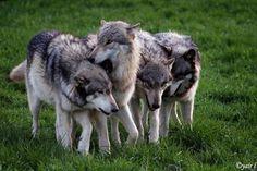 wolf pack by Yair-Leibovich.deviantart.com on @deviantART