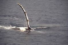 Humpback Whale watching in Hervey Bay, Australia. I can't wait to go back!