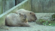 Capybara -  the largest rodent in the world. Funny little dudes to see if you ever get the chance. Related to the guinea pig, they have beaver-like teeth & webbed feet for swimming.