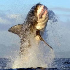 Shared by VR-Zone on FB Great White Breaching