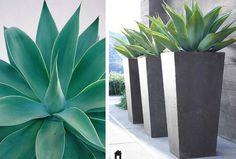 Agave dragão conheça esta e mais 25 plantas resistentes ao sol.