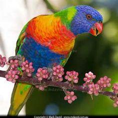 Rainbow Lorikeet (Australian parrot)