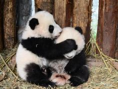 "giantpandaphotos: ""Twins Lu Lu and Xi Xi at the Bifengxia Panda Base in China. © iPanda. """