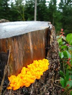Fairy butter (also known by the name witches butter) is a type of gelatinous fungus which looks like a blob of butter