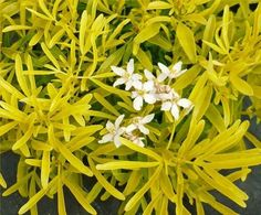 A fabulous evergreen with golden yellow leaves which are aromatic, and resemble slender golden fingers - basically, the foliage shape of Choisya Aztec Pearl with the colour of Choisya Sundance. In late spring, aromatic flowers of white tinted pin Cottage Garden Plants, Garden Trees, Garden Bed, Garden Express, Aztec Gold, Plants Online, Drought Tolerant Plants, Yellow Leaves, Chelsea Flower Show