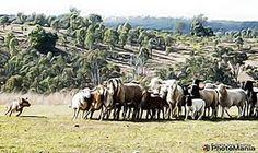 Connie Australian koolie Horses, Photography, Animals, Photograph, Animales, Animaux, Fotografie, Photoshoot, Animal
