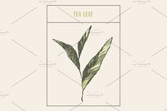 Tea sprout - Illustrations