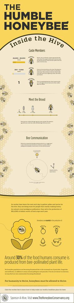 An interview with Hayden Loos, the designer of this bee infographic Hayden took some time to answer some questions about this bee infographic, his interest in bees and how he takes his honey. You can see more of Hayden's designs at What led you to crea Bee Facts, Buzz Bee, Raising Bees, I Love Bees, Bees And Wasps, Save The Bees, Bee Happy, Bees Knees, Queen Bees