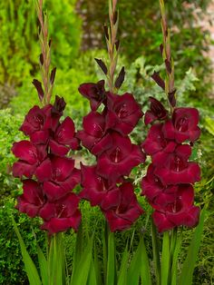 Gladiolus 'Zorro'. Height 75cm flowering from July-August.